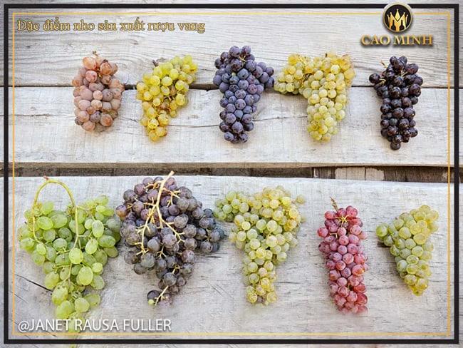 Đặc điểm nho sản xuất rượu vang