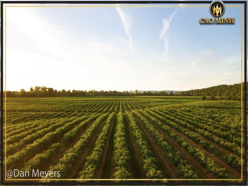 Đôi nét về khu vực trồng nho ở Manduria