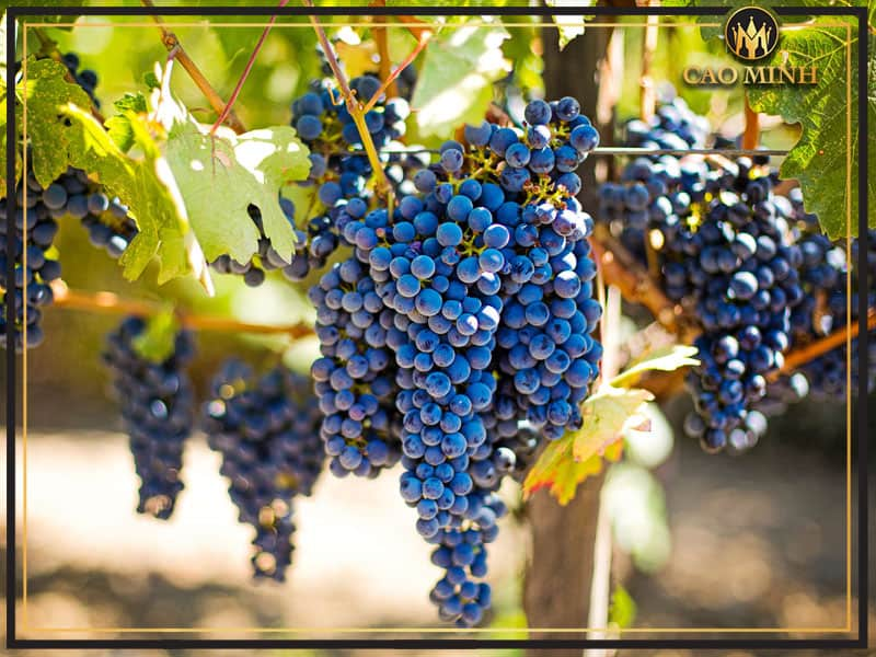 Đôi nét về nho sản xuất rượu vang San Marzano