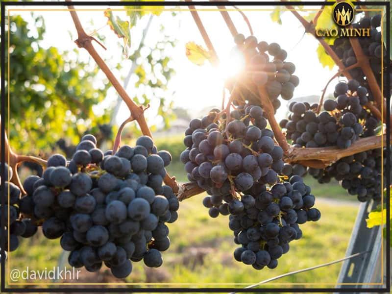 Giống nho sản xuất rượu vang Uno 1