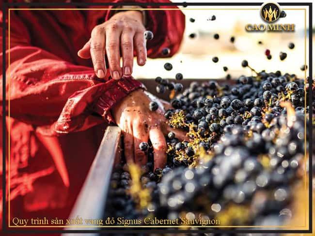 Quy trình sản xuất vang đỏ Signus Cabernet Sauvignon