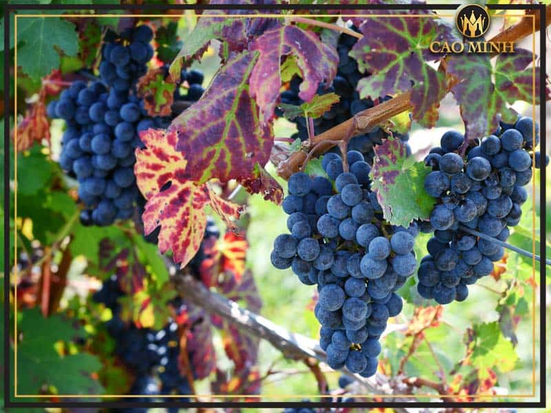 Rượu vang chát có thể được sản xuất từ nhiều loại nho khác nhau