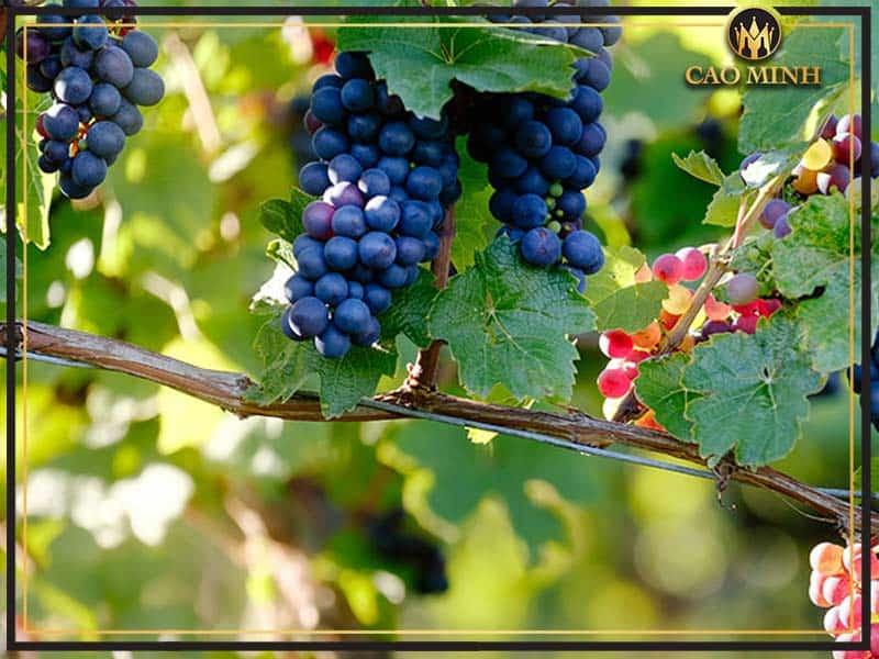 Nho Pinot Noir