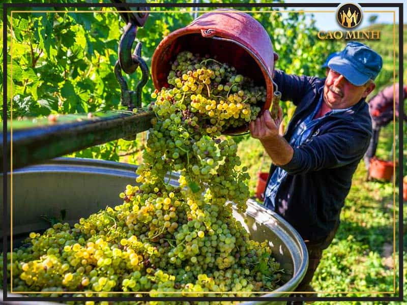Quy trình sản xuất rượu vang trắng