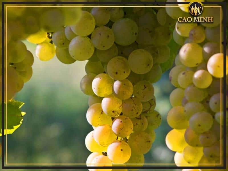 Rượu vang trắng được làm từ gì