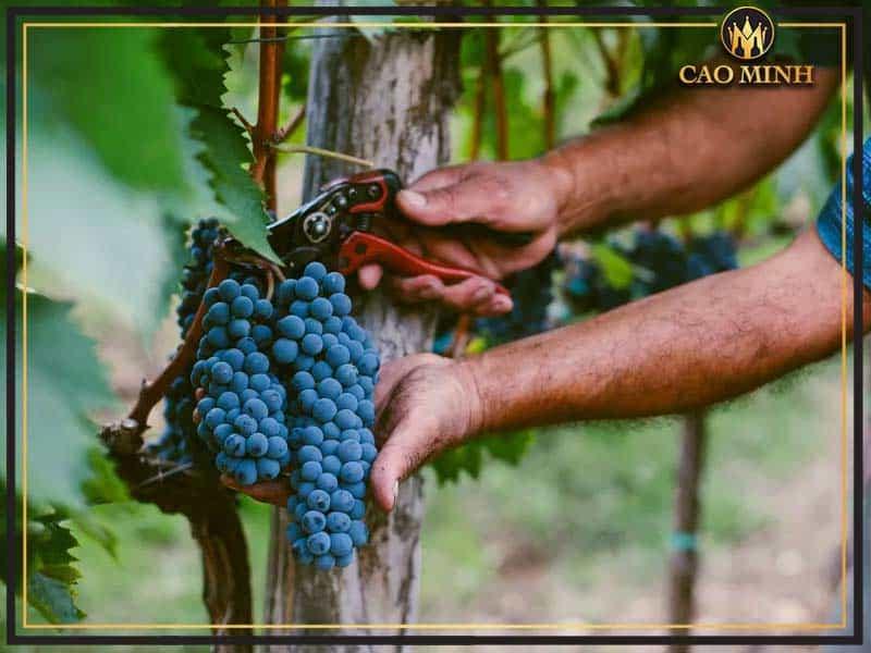 Khi mua rượu vang, hãy lưu ý tới thông tin về ngày thu hoạch nho