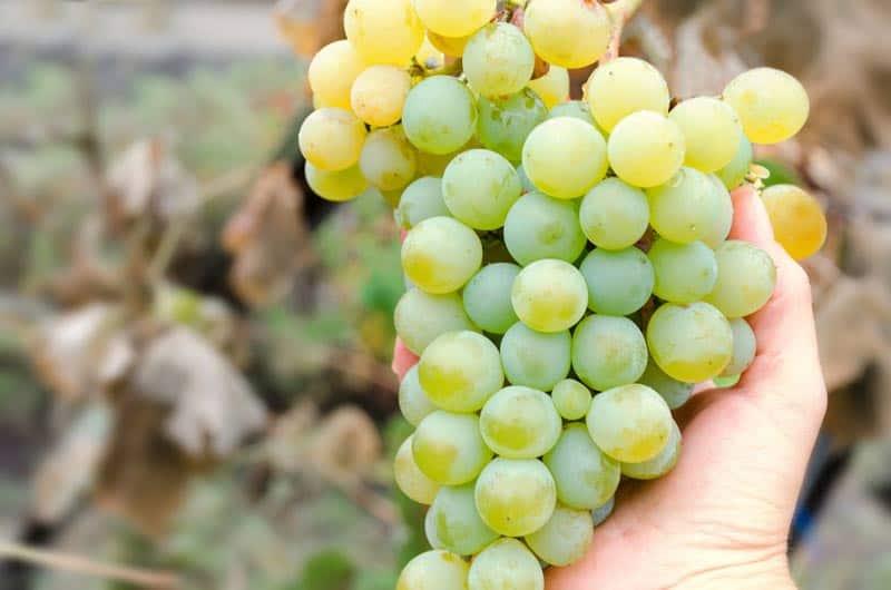 Nho Chardonnay - Giống nho nổi tiếng làm nên những chai vang trắng xuất sắc