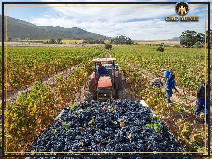 Quy trình sản xuất rượu vang Golf Primitivo Di Manduria