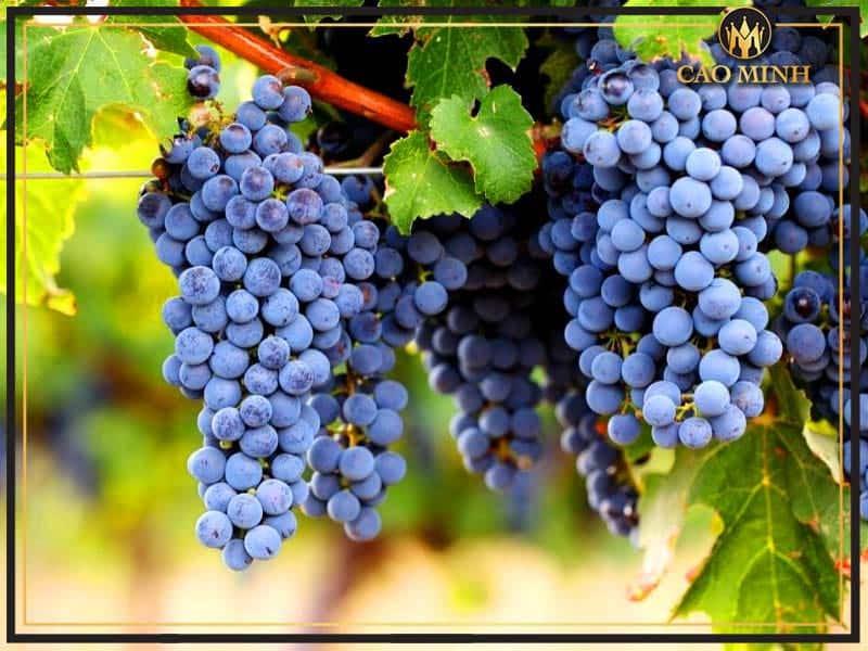 Đôi nét giống nho vua Cabernet Sauvignon làm nên những chai rượu vang nổi tiếng