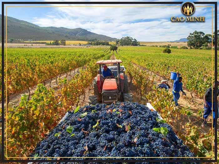 Các giống nho sản xuất rượu vang Nam Phi