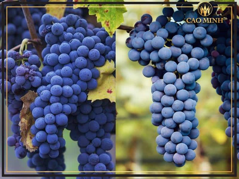 Nho sản xuất rượu vang G79 Vino Rosso